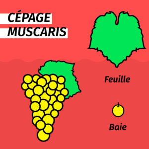 cepage-resistant-muscaris